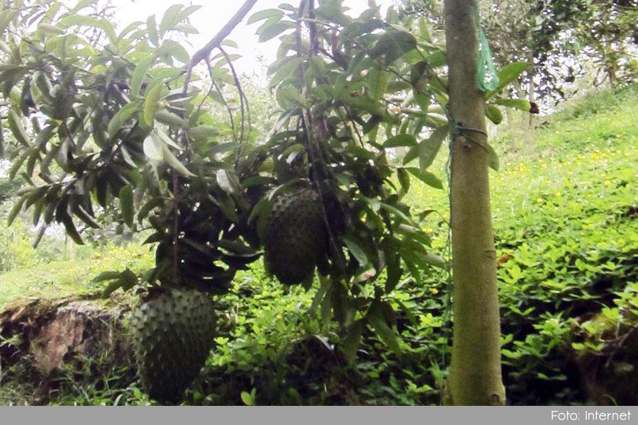 Photo of En Sonsón se cultivará guanábana tipo exportación