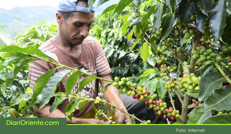 Photo of En Marinilla vienen en aumento los cultivos de café