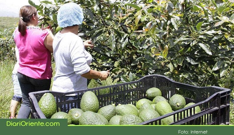 Photo of Productoras de aguacate Hass en el Oriente serán certificadas para exportar a China, Japón y Estados Unidos.