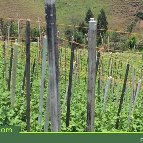 En San Vicente, cambian la madera por plástico reciclado en los cultivos de frijol.