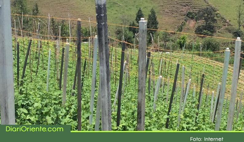 Photo of En San Vicente, cambian la madera por plástico reciclado en los cultivos de frijol.
