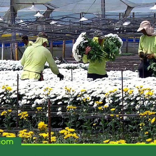 Antioquia exportó 152 millones de dólares en flores en el primer semestre del año