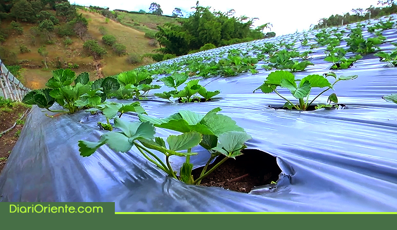 Photo of Alcaldía entrega bonos para 800 productores agropecuarios de Rionegro