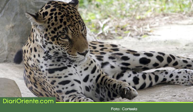 Photo of Cornare busca con las comunidades estrategias para el conflicto entre felinos y humanos