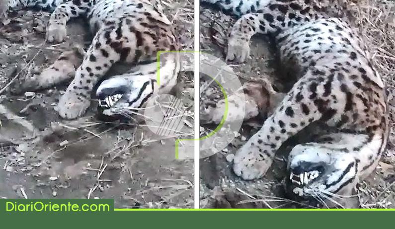 jaguares.png