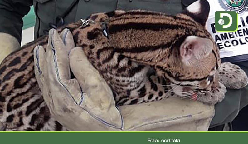 Photo of En El Retiro un tigrillo fue entregado voluntariamente a la Policía Ambiental