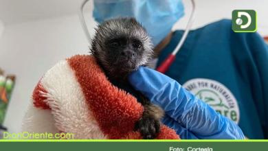 Photo of Cocorná: recuperan dos bebés de monos titís que fueron arrebatados a su madre