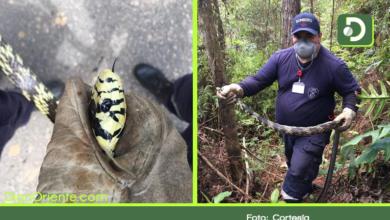"""Photo of Serpiente tipo """"Toche o Tigra"""" fue trasladada a reserva natural en San Rafael."""