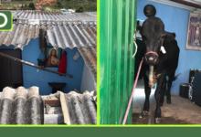 Photo of Vídeo: Así fue el rescate del toro que cayó por el techo de una casa en Rionegro.