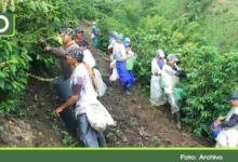 Photo of En medio de la pandemia, Abejorral recibirá 1.500 recolectores para la cosecha de café
