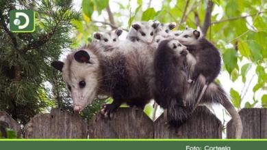 Photo of Protejamos las zarigüeyas, vitales para controlar plagas y mantener sanos los ecosistemas